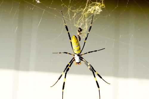 spider yellow splendor