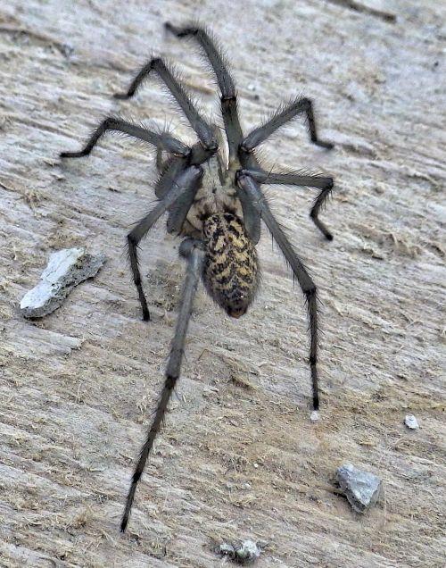 spider animal arachnids