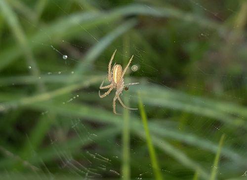 spider field orbweaver web