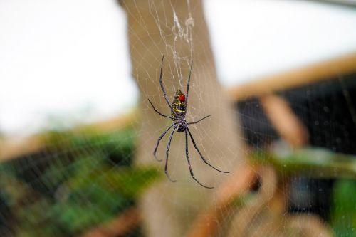 spider orb spider animal
