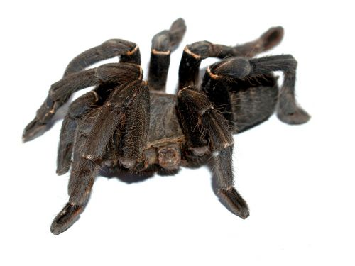 spider tarantula arthropod