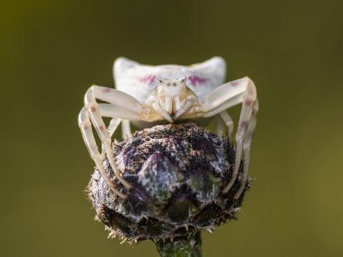 spider dorsata arachnids