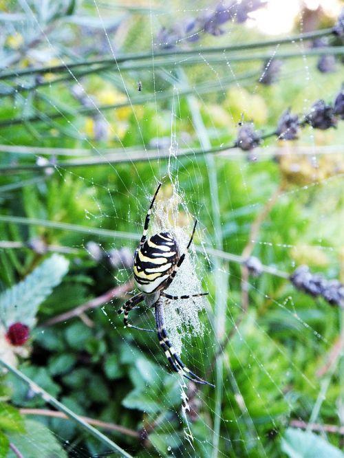 voras,sodas,vasara,tinklas,voratinklio makro,vabzdys,voratinklis,arachnid,makro,gamta,isp spider