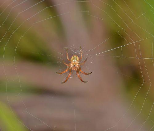spider orb spider orb weaver