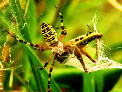 spider tiger spider wasp spider
