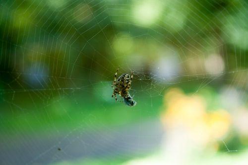spider fly victim