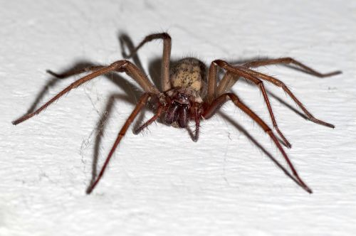 spider tegenaria domestica terrible