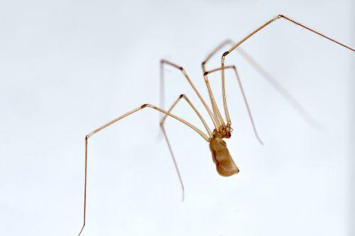 spider long legs nasosznik