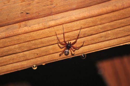 spider brown widow big spider