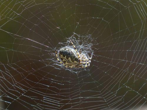 spider cobweb oakleaf orb weavers