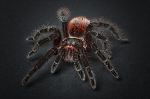 spider tarantula arachnophobia