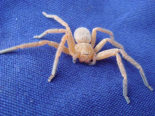 spider blue crawling