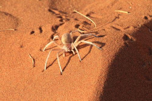 spider caution desert