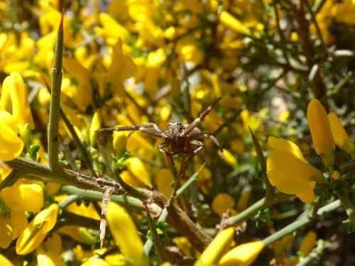 spider arachnid genista scorpius