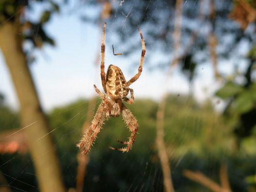 spider nature arachnid