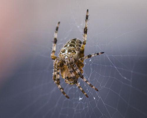 spider common arachnid