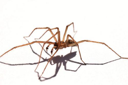 voras,šešėlis,fauna,arachnid,makro,gamta,spider baltas fonas,baltas fonas