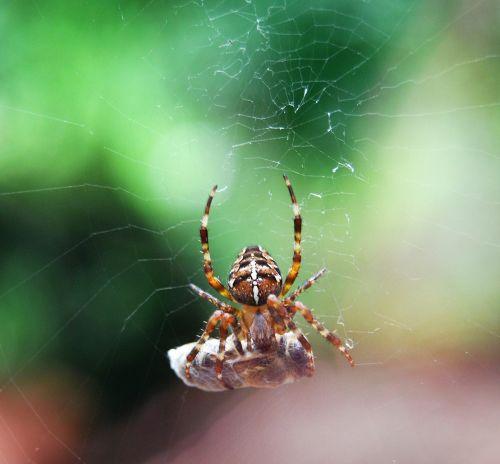 spider prey cocooned