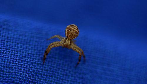 spider brown arachnid