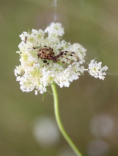 spider flower white