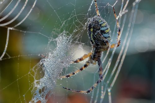 spider dew web