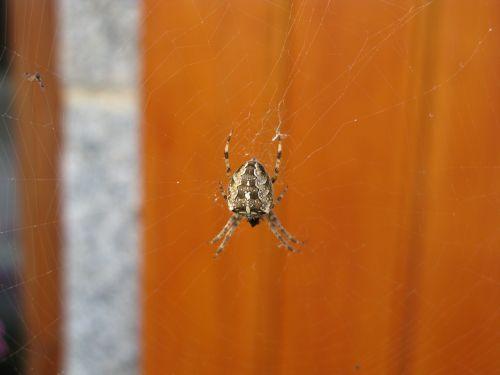 spider aranéides canvas