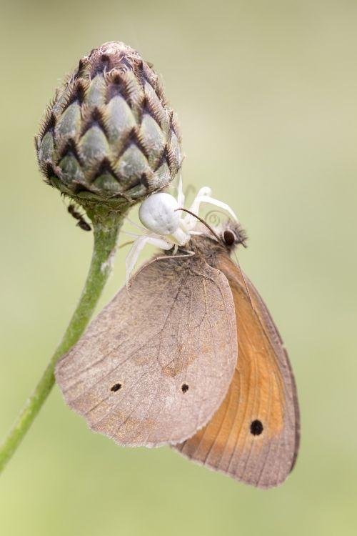 spider prey butterfly