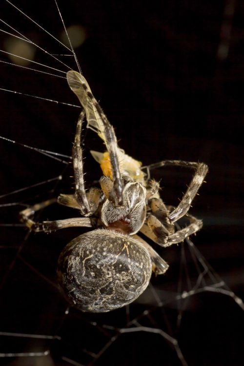 spider prey night