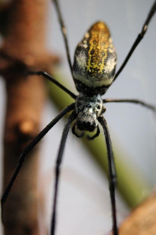 spider orb weaver