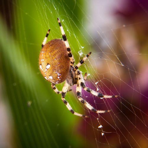spider macro four stain kreuzspinne
