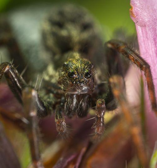 spider bespozvonochnoe arachnids