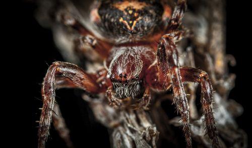 spider bespozvonochnoe macro