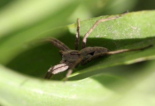 spider  arachnid  gray