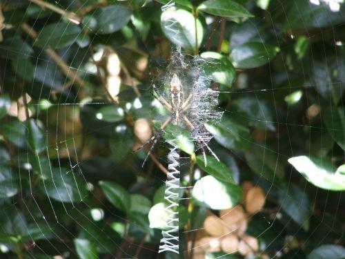 spider spiderweb web