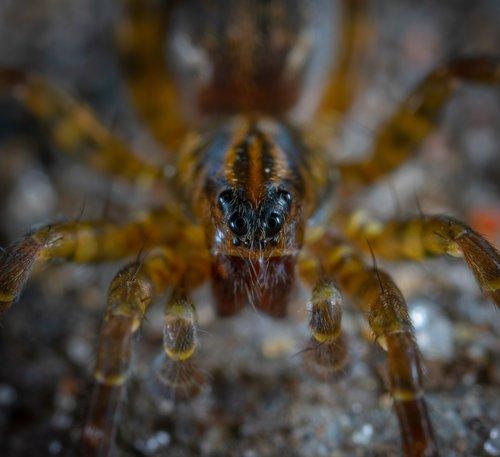 spider  arachnids  macro