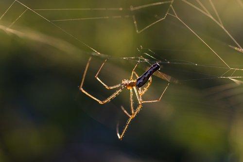 spider  cobweb  cobwebs
