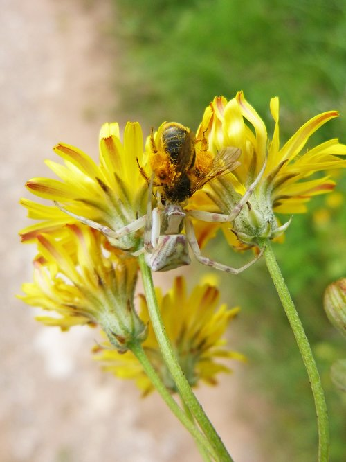 spider  predator bee  hunting