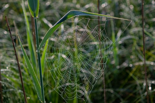 spider  cobweb  morgentau