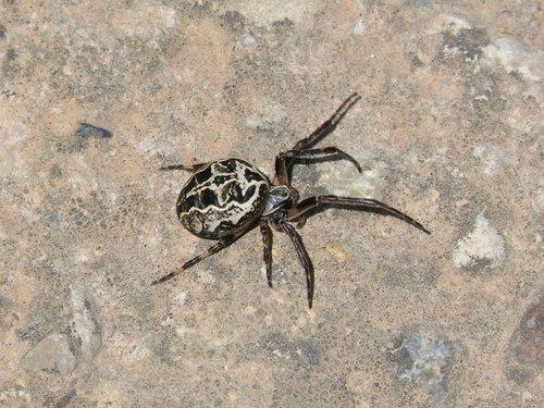 spider  arachnid  pattern