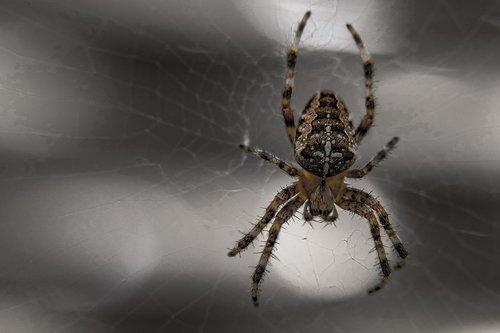 spider  arachnid  insect