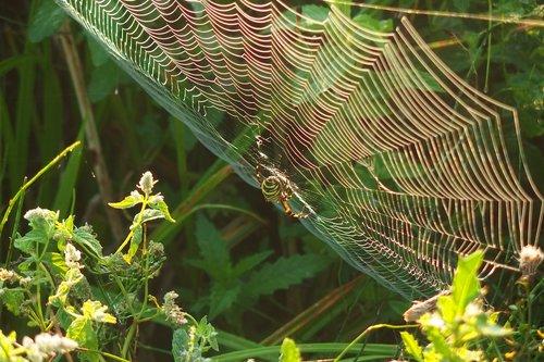 spider  cobweb  green