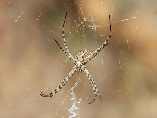 spider  arachnid  risk