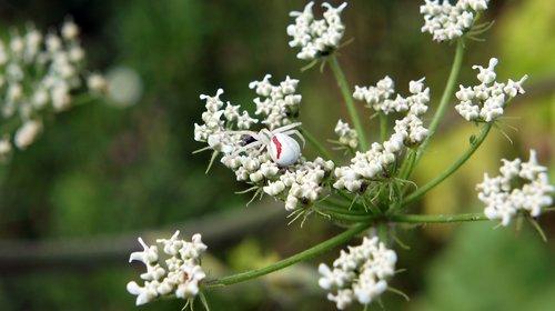 spider  plant  bloom