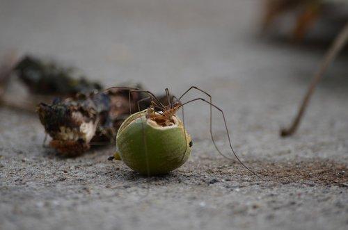 spider  long  leg