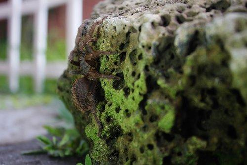 spider  tarantula  hairy