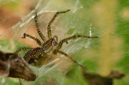 spider  arachnid  wildlife