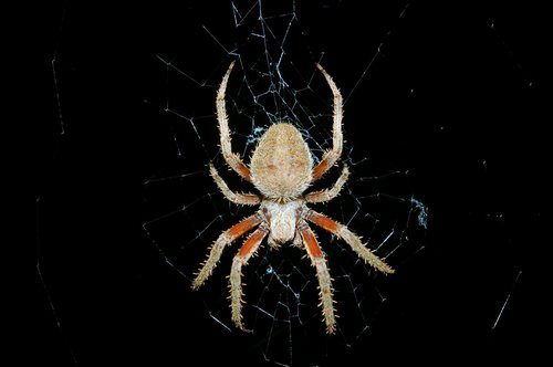 spider  arthropod  arachnid