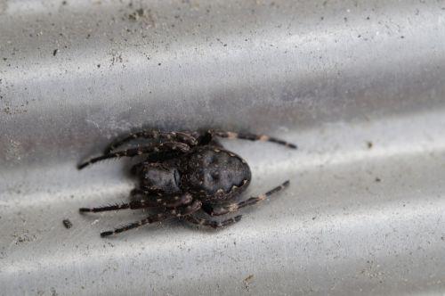spider lurking arachnid