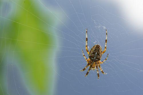spider cobweb depend