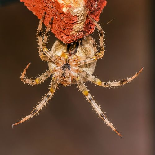 spider with crowned keresztespók